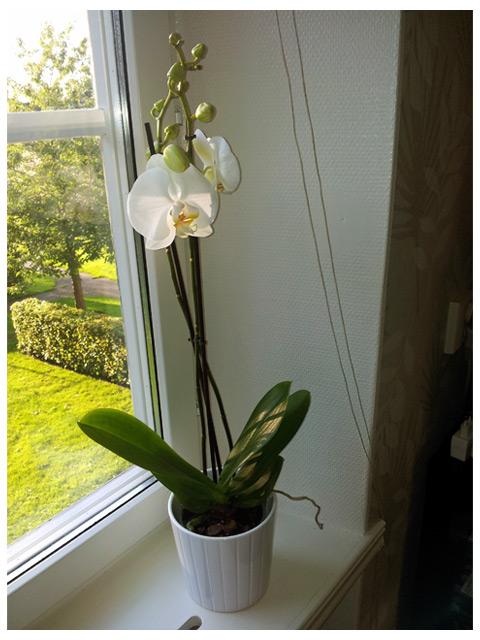 Nya fina vita orkidéen från ikea