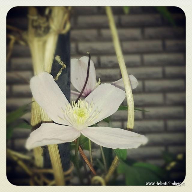 I mammas och pappas trädgård, närbild på blomma i spaljen