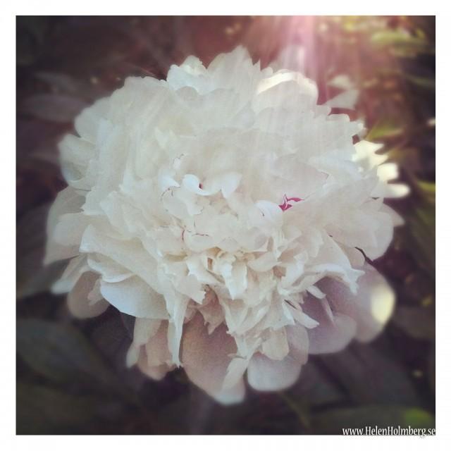 Foto från mamma och pappas trädgård. 2012-06-21