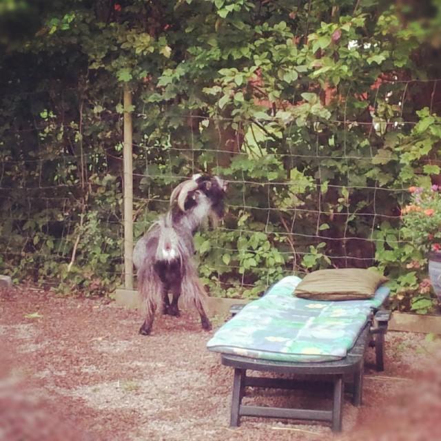 På besök hos min svåger & svägerska, där geten rymde ut i trädgården